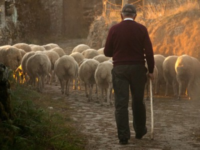 IMAGE: It is the duty of a good shepherd to shear his sheep, not to skin them.