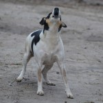 Barking dogs seldom…
