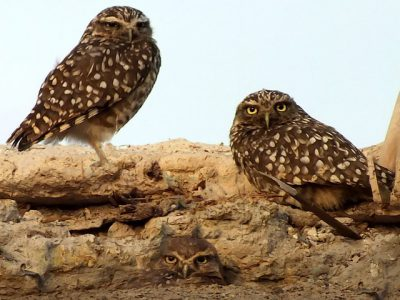 IMAGE: The owl thinks her own young fairest.