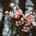 Plum flowers! Don't…