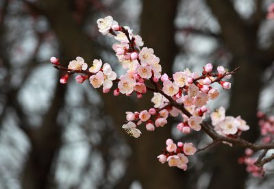 IMAGE: Plum flowers! Don't forget the springtime, even though your master is no longer with you. When an easterly wind blows, be sure to send me--your sweet fragrance.