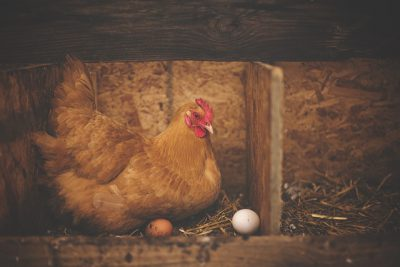 IMAGE: Which came first, the chicken or the egg?