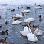 All his geese are…