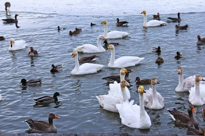 IMAGE: All his geese are swans.