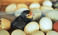 IMAGE: Don't count your chickens before they are hatched.