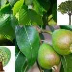 To ask pears of an…