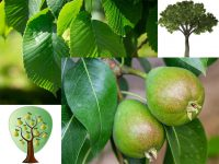 IMAGE (by Pezibear/Deedster/analogicus on Pixabay): To ask pears of an elm tree.