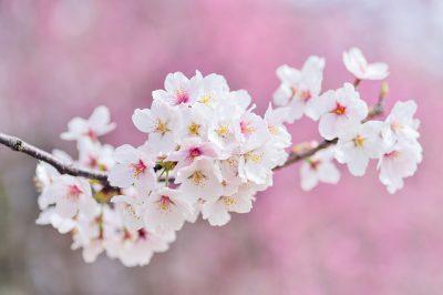 IMAGE: The cherry among flowers, the samurai among men.