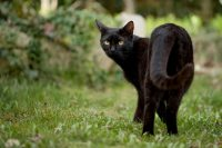 IMAGE: A black cat crossing your path signifies that the animal is going somewhere.